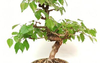 comprare un bonsai