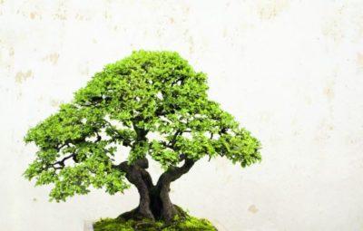 origini dei bonsai